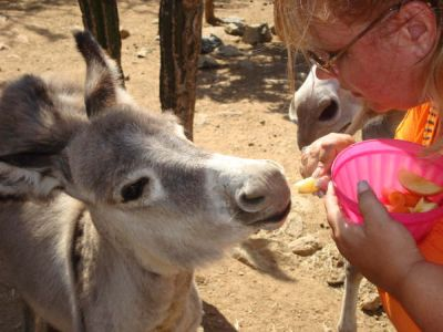 adoption of Mira an Aruban donkey at the sanctuary by Sheri & Gary Thurlow