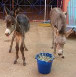 Diassa and Truffles, two baby donkeys at the Donkey Sanctuary ARuba