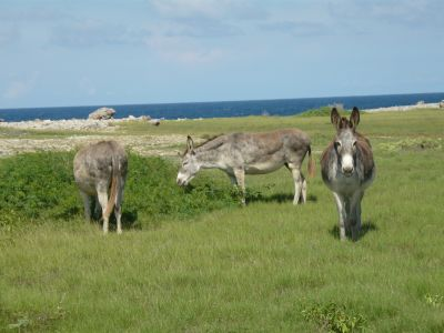 wild donkeys on north coast of Aruba