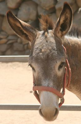 Sunday Dream an Aruban donkey at the donkey sanctuary Aruba