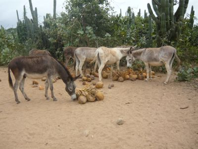 donkeys playing and eating coconuts
